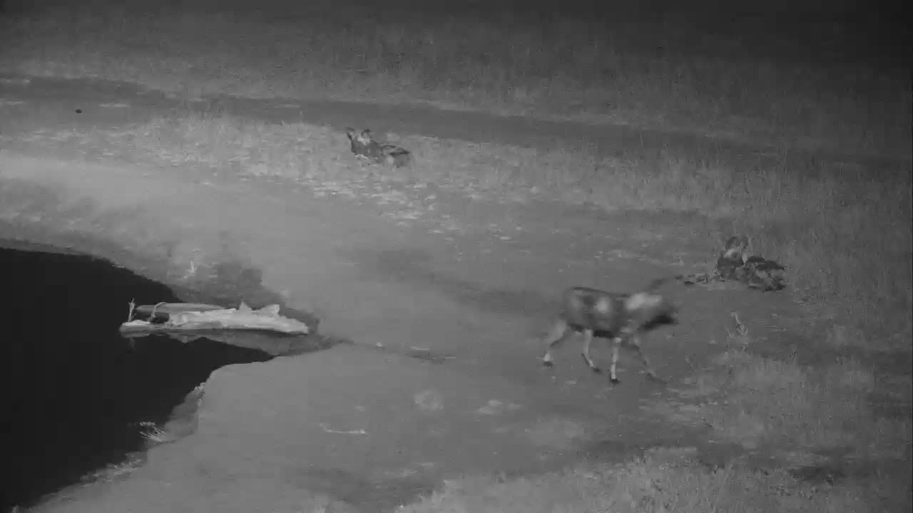 VIDEO: Wild Dogs visit the waterhole