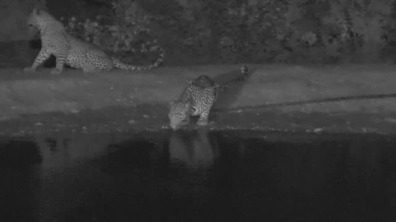 VIDEO:Pair of Leopards