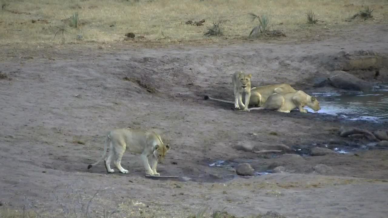 VIDEO: Lioness and her 3 nearly adult cubs came for a drink and some rest to the waterhole.