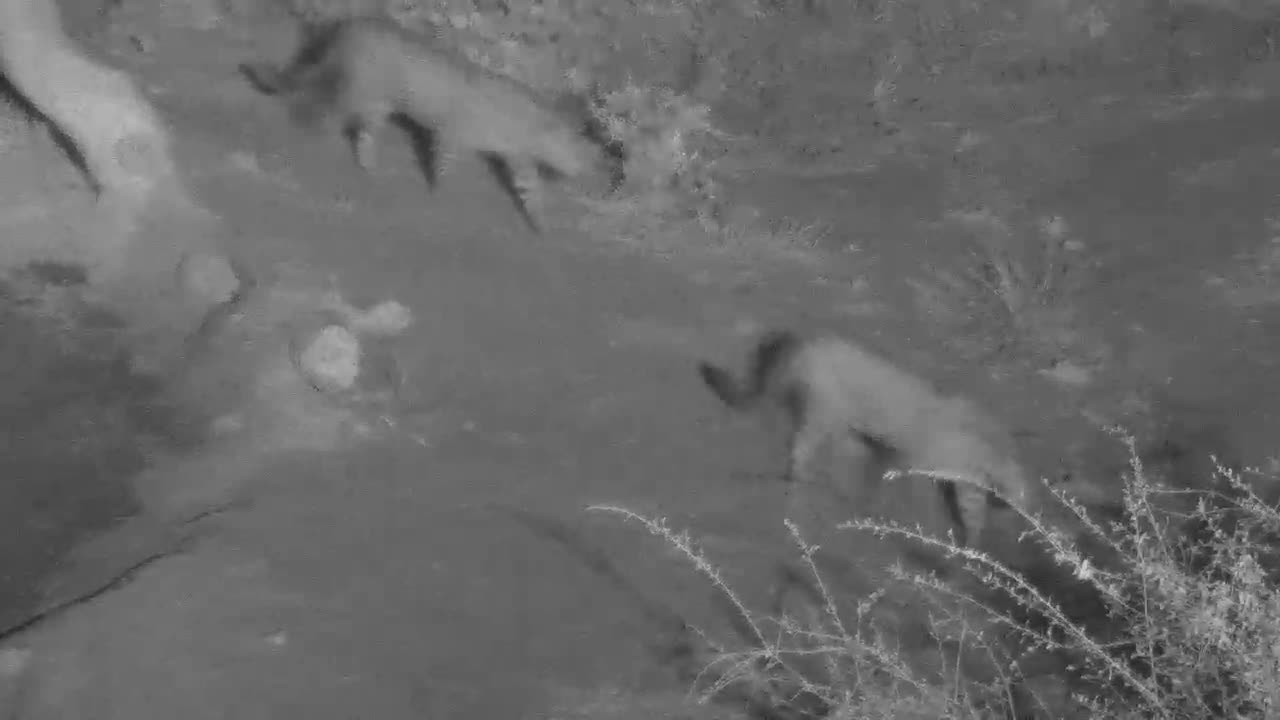 VIDEO: Pair of Leopards passing by