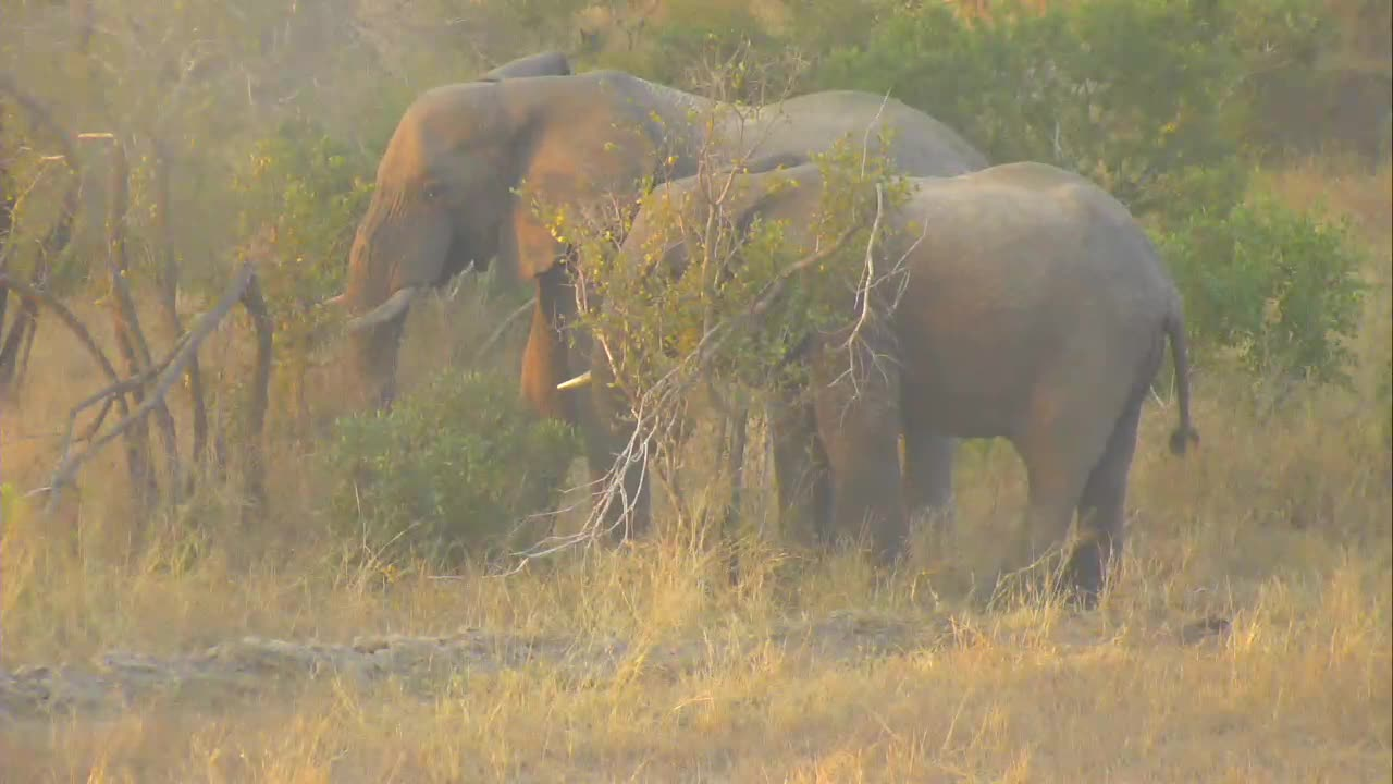 VIDEO: Elephant drinks and follows the group in the thicket.
