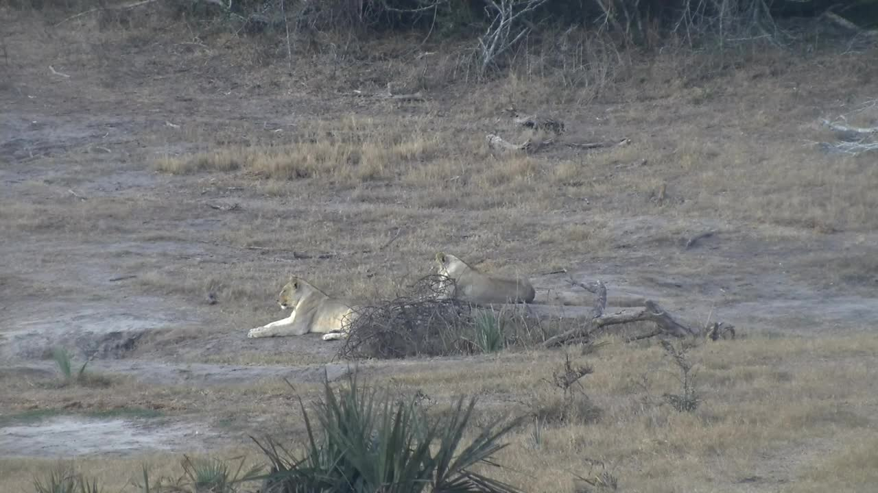 VIDEO:Lions being pestered by the Elephants