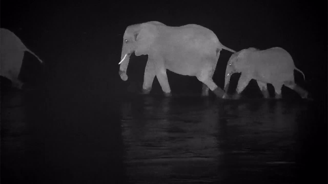 VIDEO: Large Herd of Elephants crosses the river into groups and they eat on the opposite embankment.