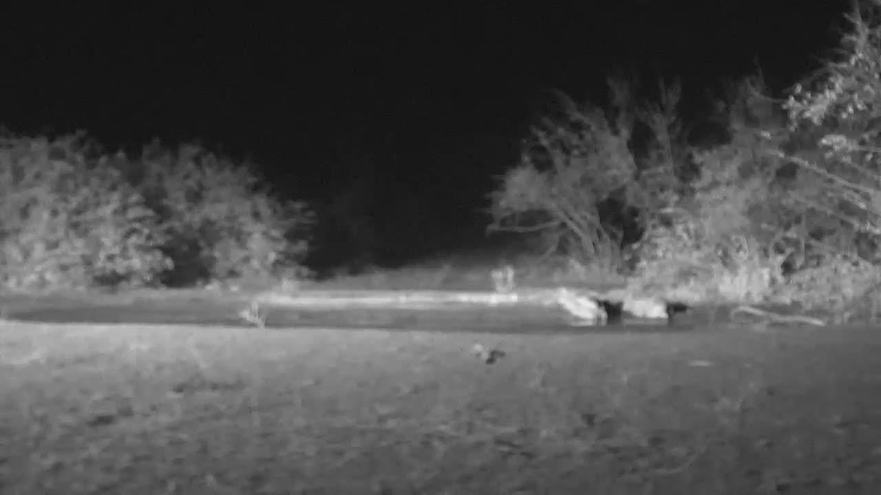 VIDEO: Leopard at Naledi Cat-EYE