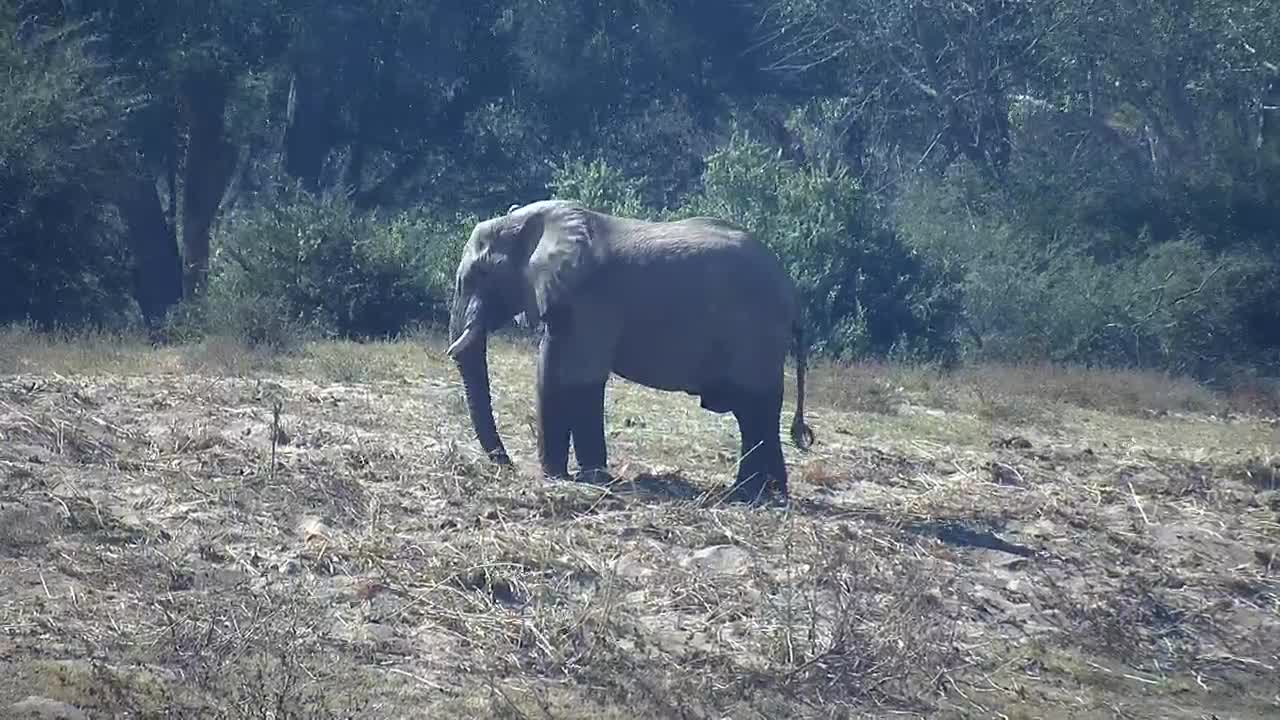 VIDEO: Elephant digs for something
