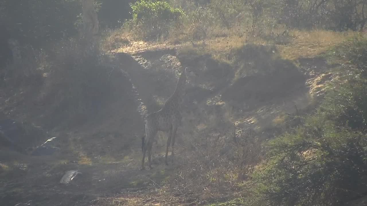 VIDEO:Giraffe getting up a hill