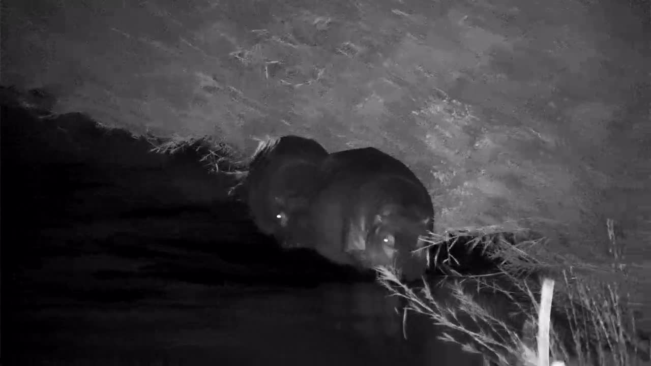 VIDEO: Hippos walking along the bank of the river
