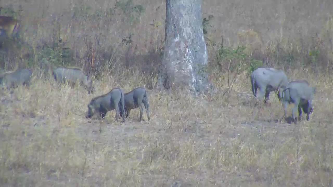 VIDEO:Warthog family walking away from waterhole