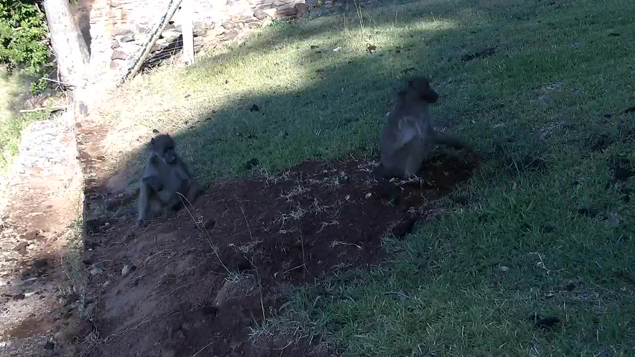VIDEO:Baboons searching for something to eat