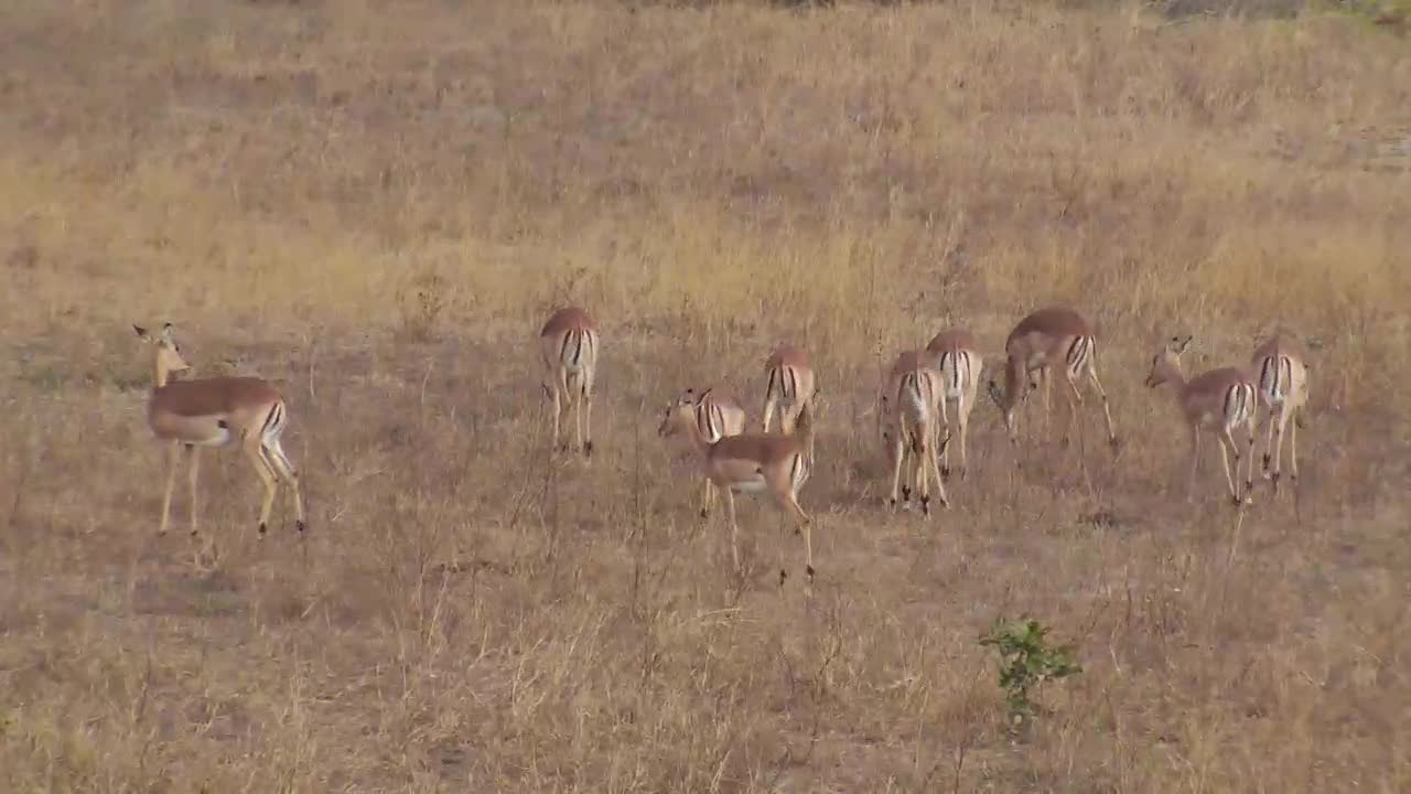VIDEO: Impalas walking and grazing in the open area