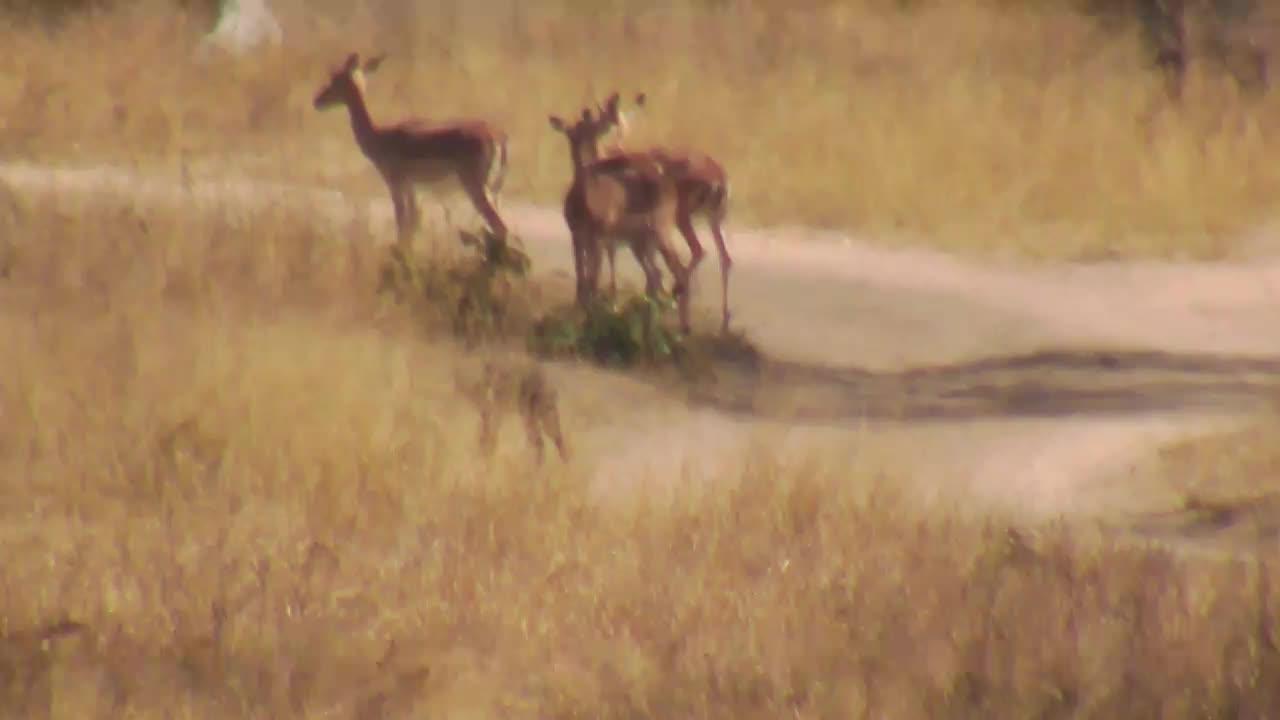 VIDEO: Jackal walks away, ignoring the impalas.