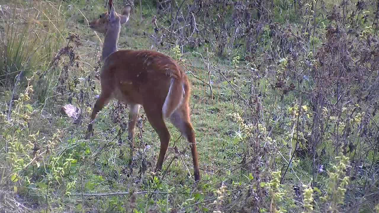 VIDEO: Bushbuck - very alert - looks for edibles on the bank