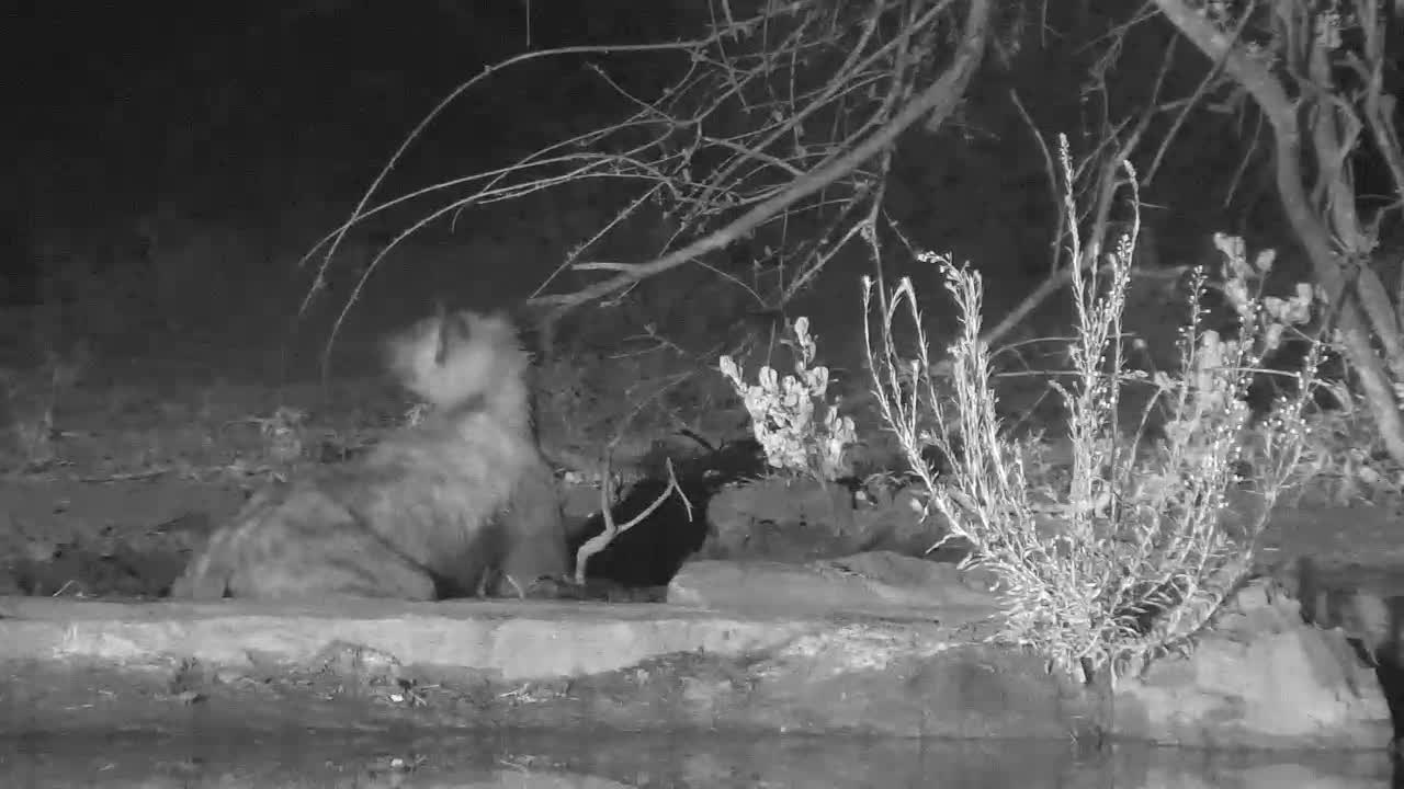 VIDEO: Hyaena Rolling in the Mud at Cat-EYE Cam