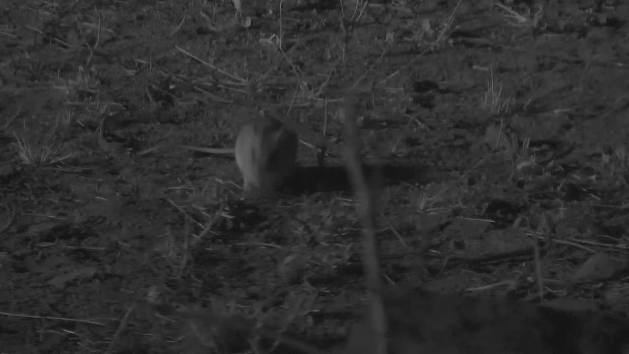 VIDEO: Gerbil grazing near the camera tonight