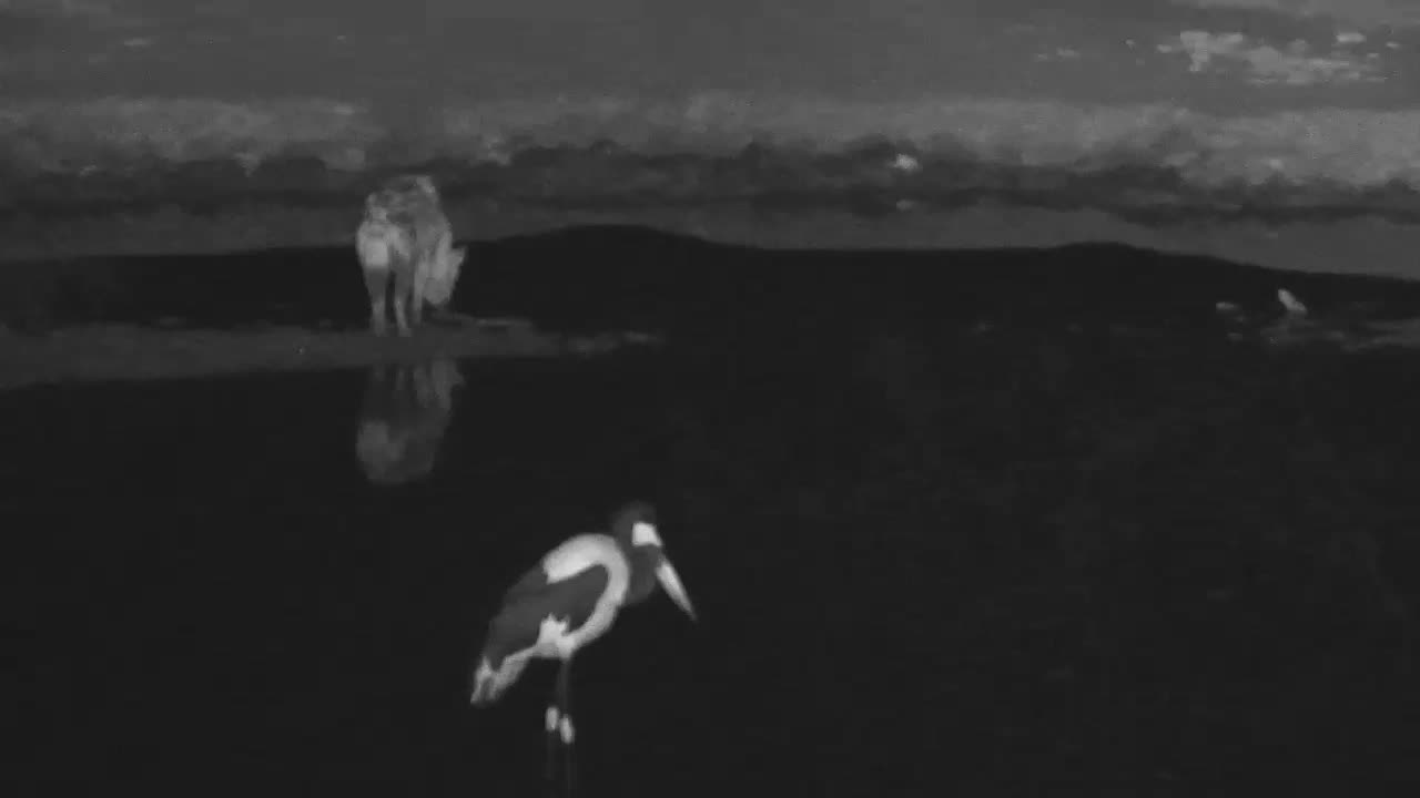 VIDEO:Hyaena stops to admire Saddle-billed Stork and then continues his hunt