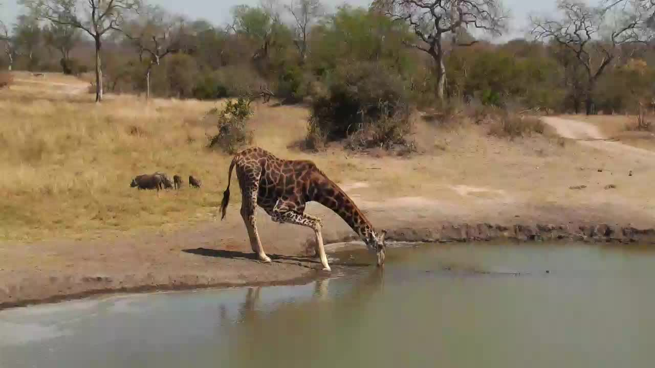 VIDEO:  Giraffe having a drink in company of warthogs