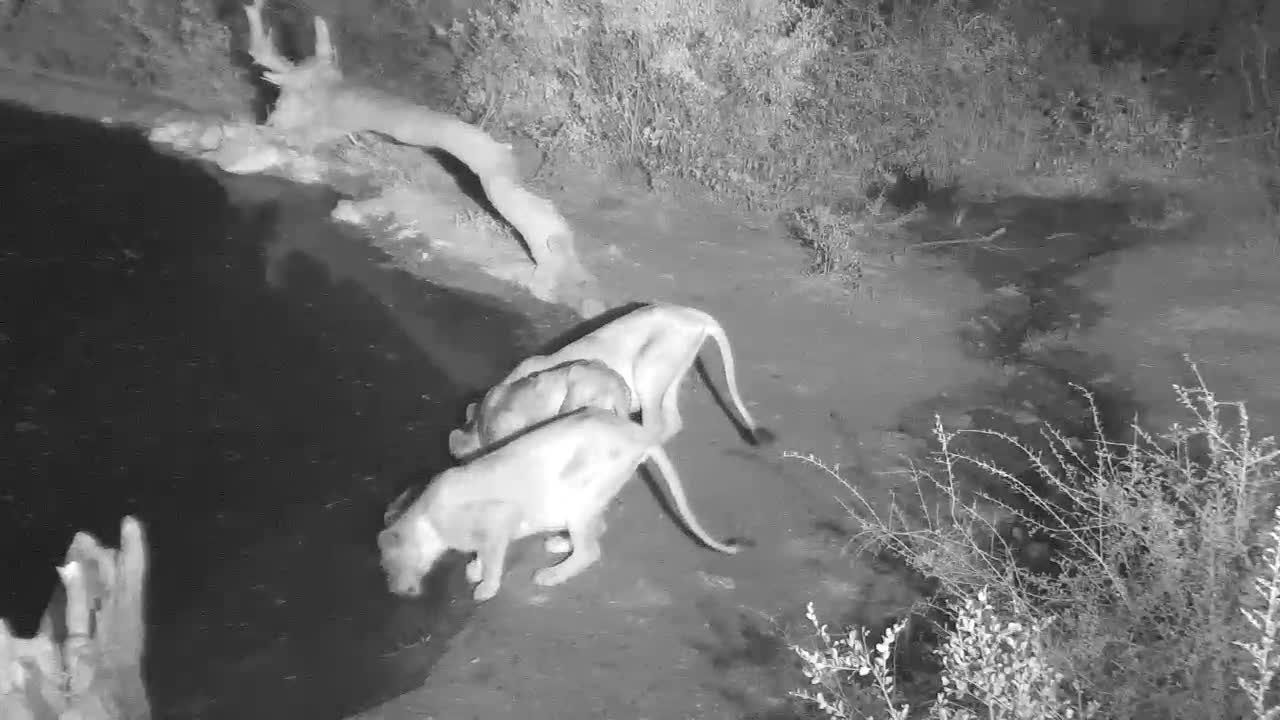 VIDEO:  3 thirsty Lionesses