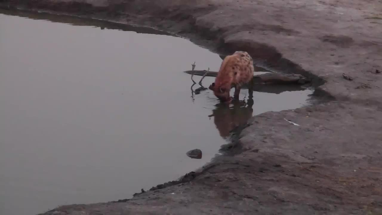 VIDEO: Several Hyenas at the waterhole with full bellies