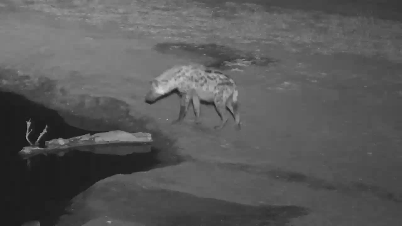 VIDEO:  Hyaena stopping for a quick drink