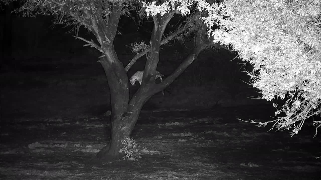 VIDEO:  Leopard in the tree