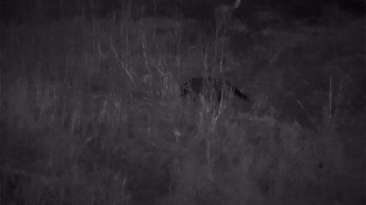 VIDEO:  Civet hunting on the river bank