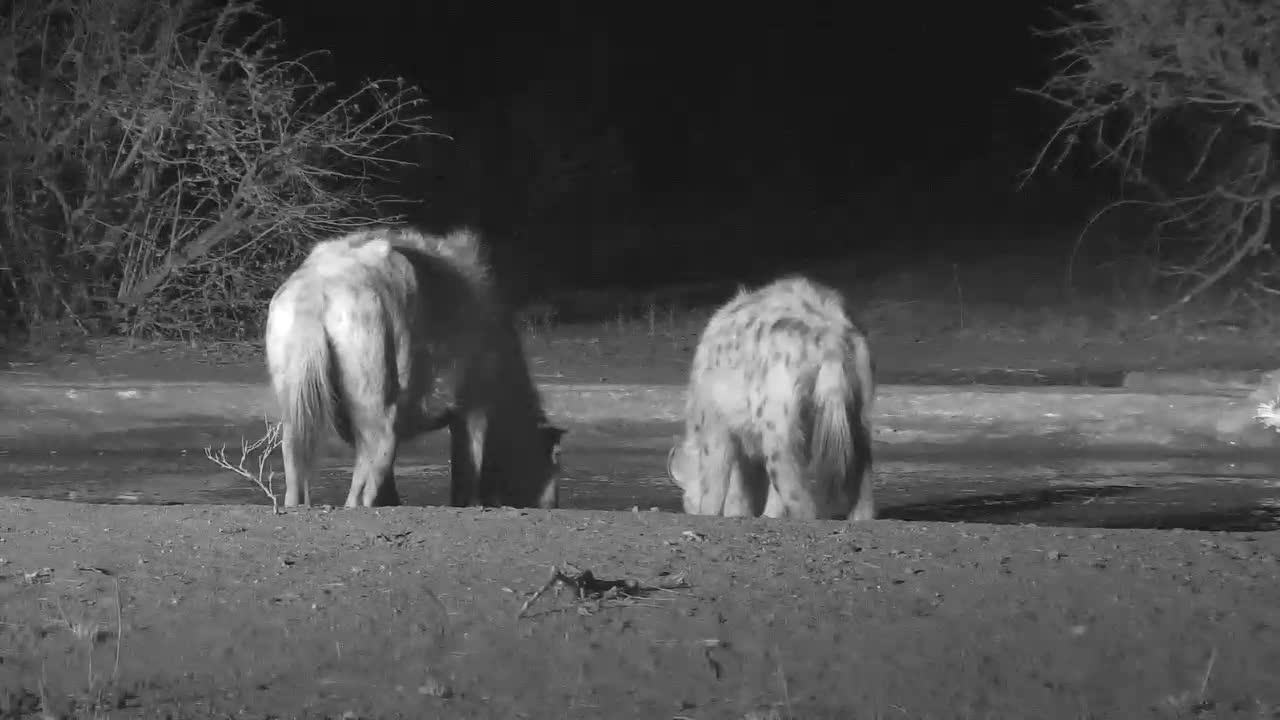 VIDEO: Thirsty Hyaenas stop for a quick drink