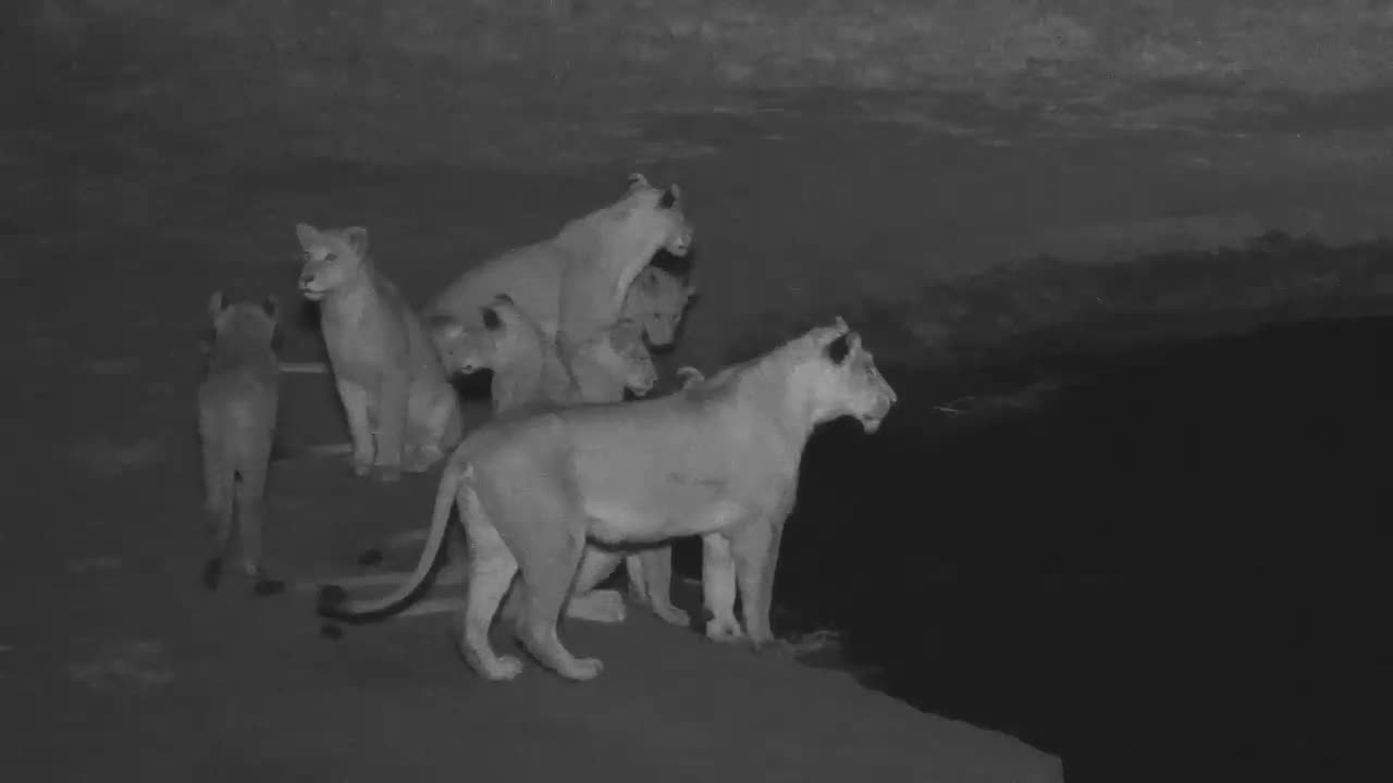VIDEO: Pride of Lions have a drink and disappear into the darkness