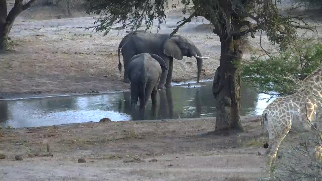VIDEO: Elephants drinking and Giraffe - very alert - walking around