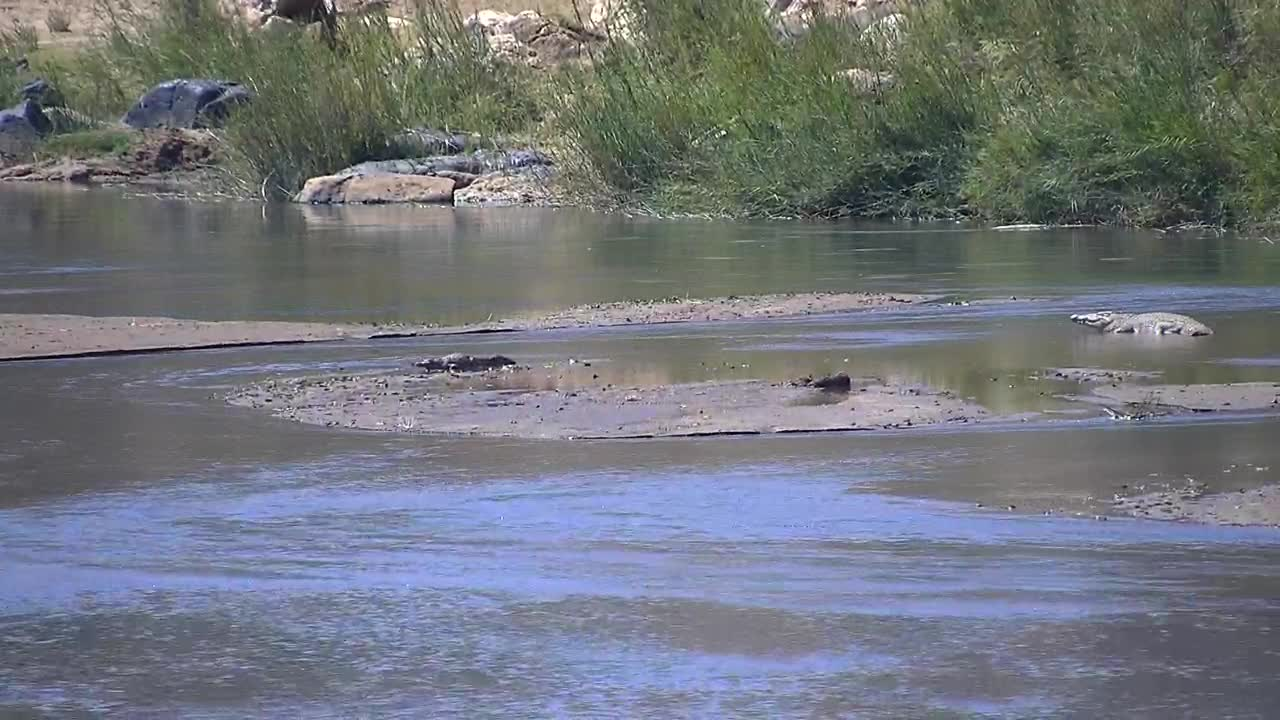 VIDEO:  Small crocodile walking away from bigger one