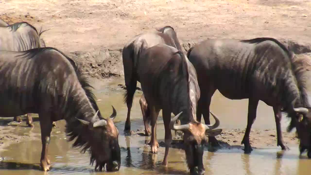 VIDEO: Wildebeests came for a short drink to the waterhole