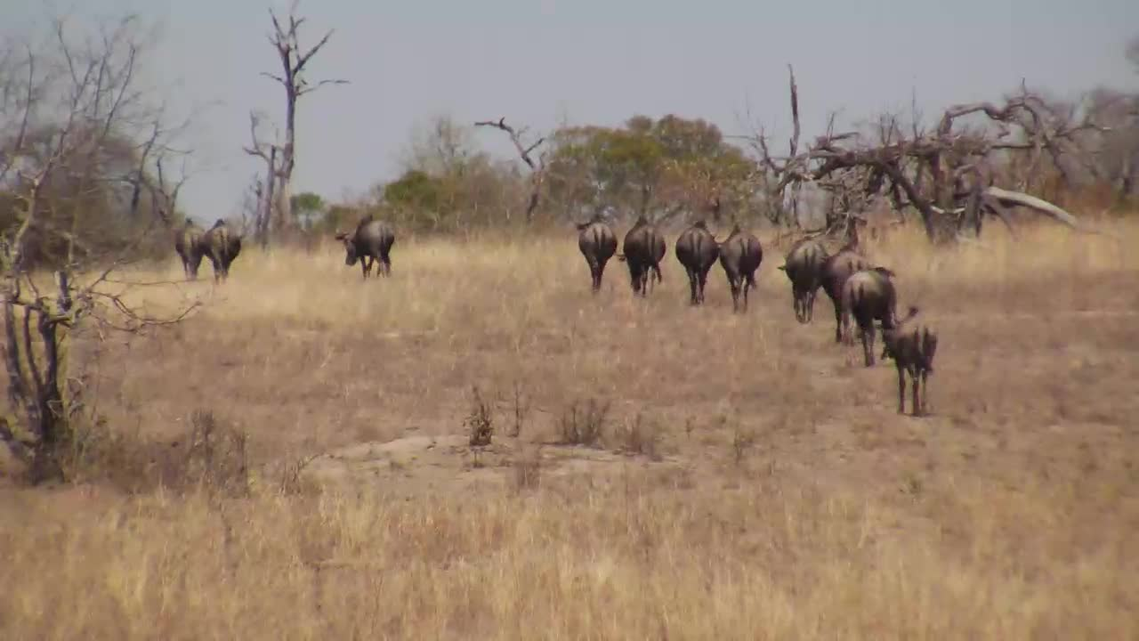 VIDEO: Wildebeest leave the open area in single file