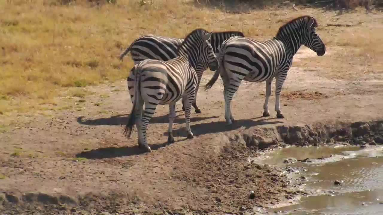 VIDEO: Zebras looking for water, could not decide to drink