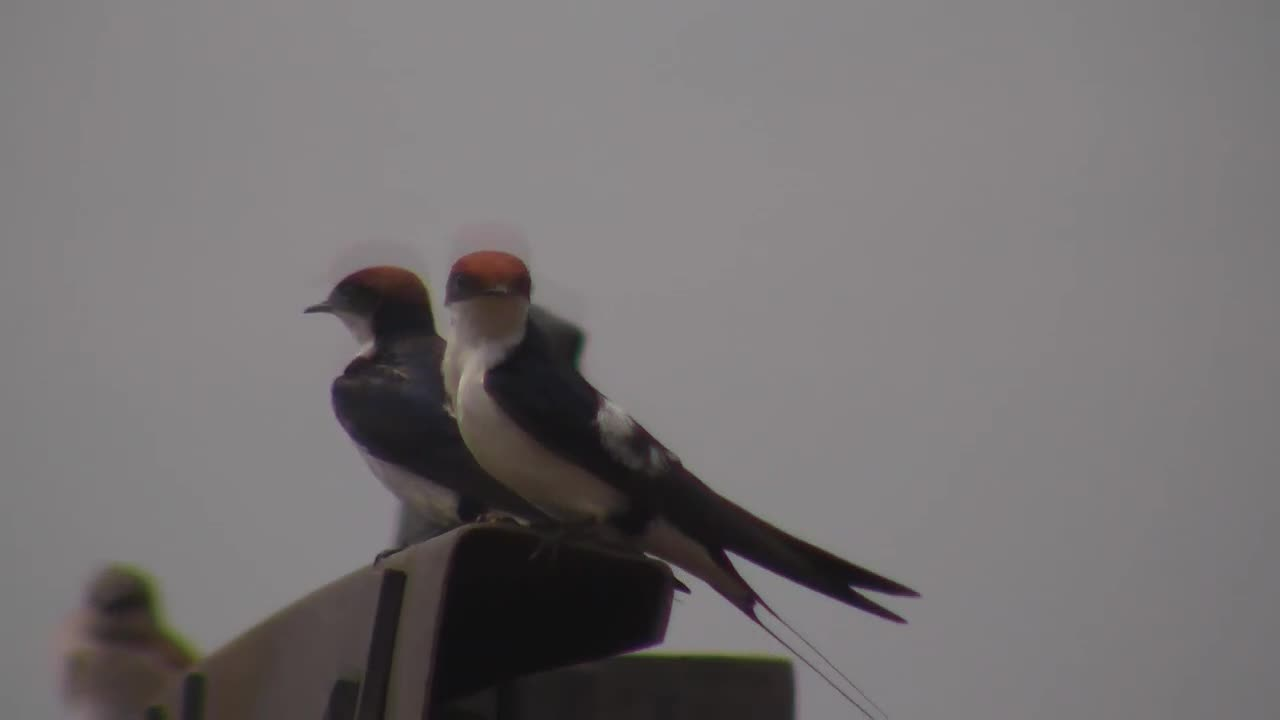 VIDEO: Wire-tailed swallows take a rest and have their feather care