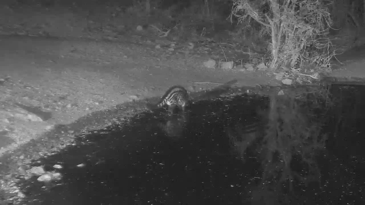 VIDEO:  Civet having a drink and then jumped- something in the water