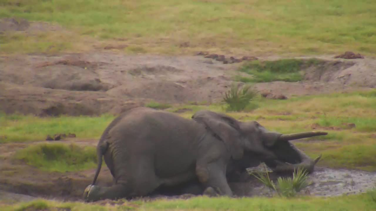 VIDEO:Elephant Getting Down & Dirty for a Mud Bath