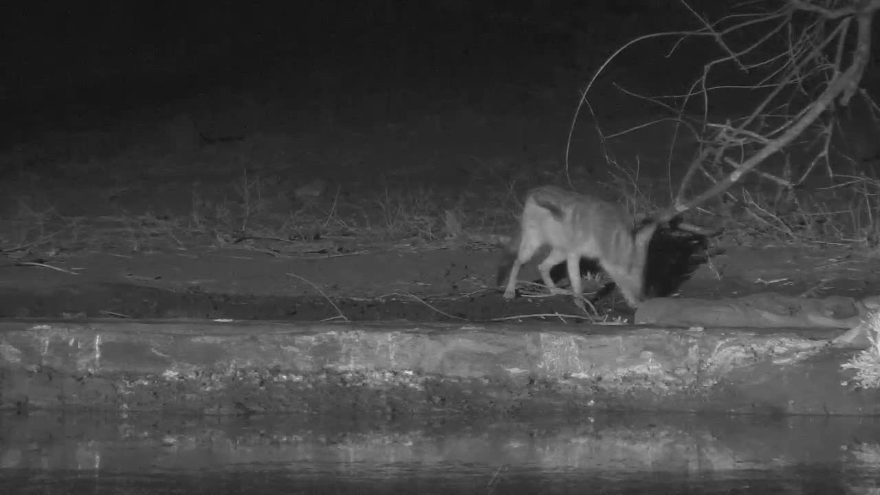 VIDEO:  2 Black-backed Jackals