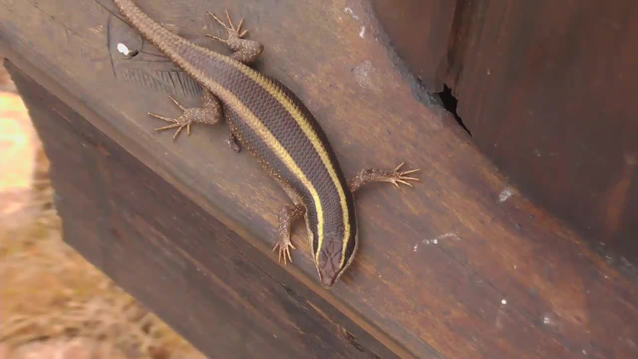 VIDEO: Striped Skink