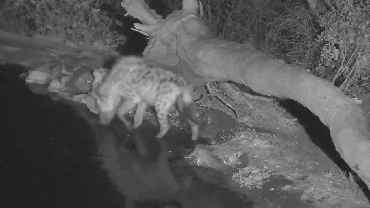 VIDEO:Busy Hyaena