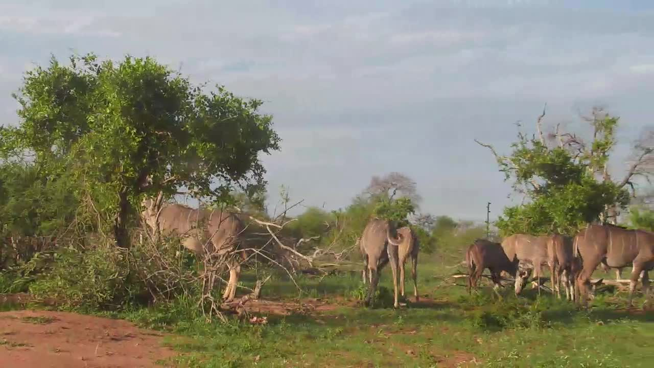 VIDEO: Kudu enjoy the fresh grass and leaves.