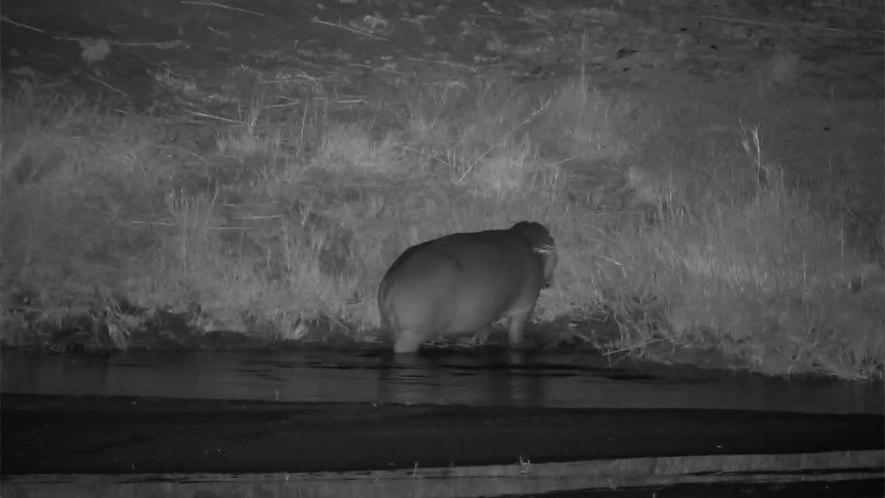VIDEO: Hippo grazing along the river