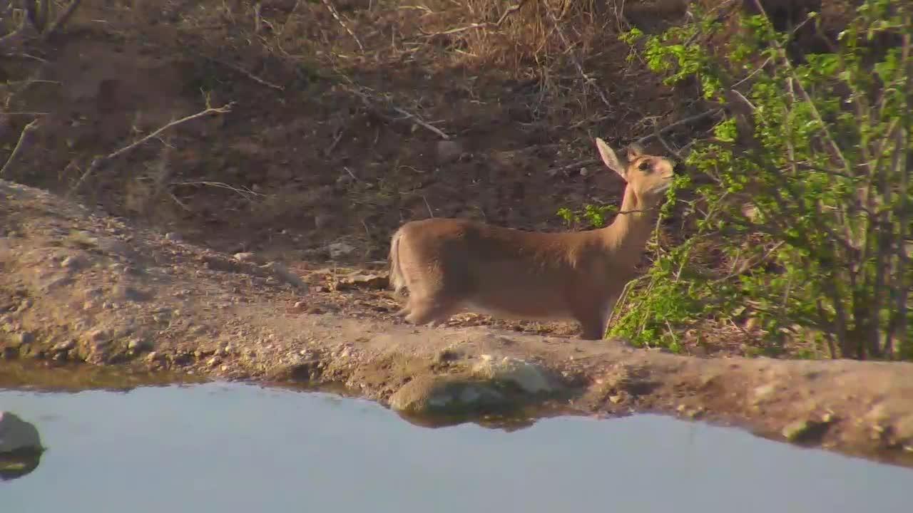 VIDEO:  Duiker eating leaves