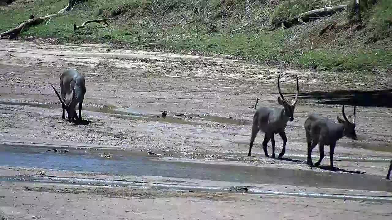 VIDEO:  Waterbuck on the sandbank