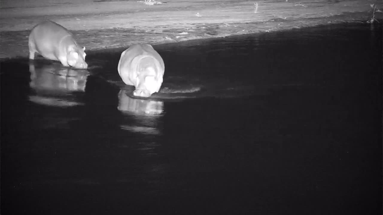 VIDEO:  Two Hippos going into the river to relax