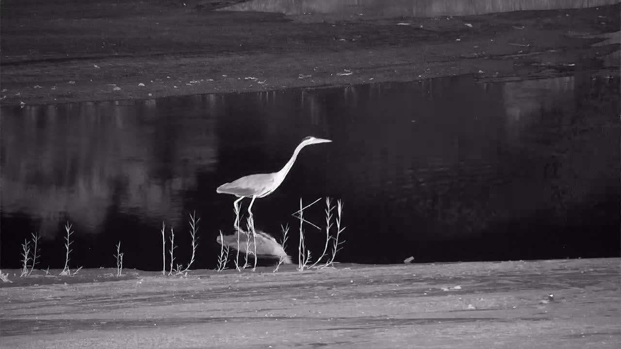 VIDEO:  Grey Heron hunting, 2 Hippos sleeping and a Pel's Fishing Owl looking around