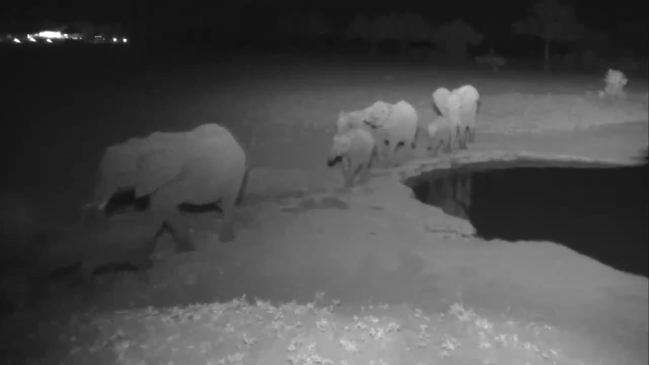 VIDEO:Breeding Herd of Elephants all in a Row