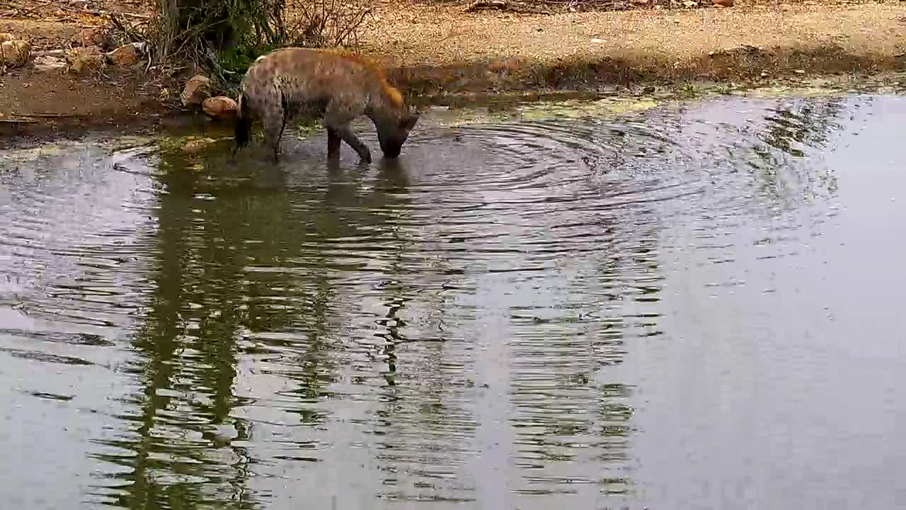 VIDEO:  Hyena hunting for something in the waterhole Pt 1