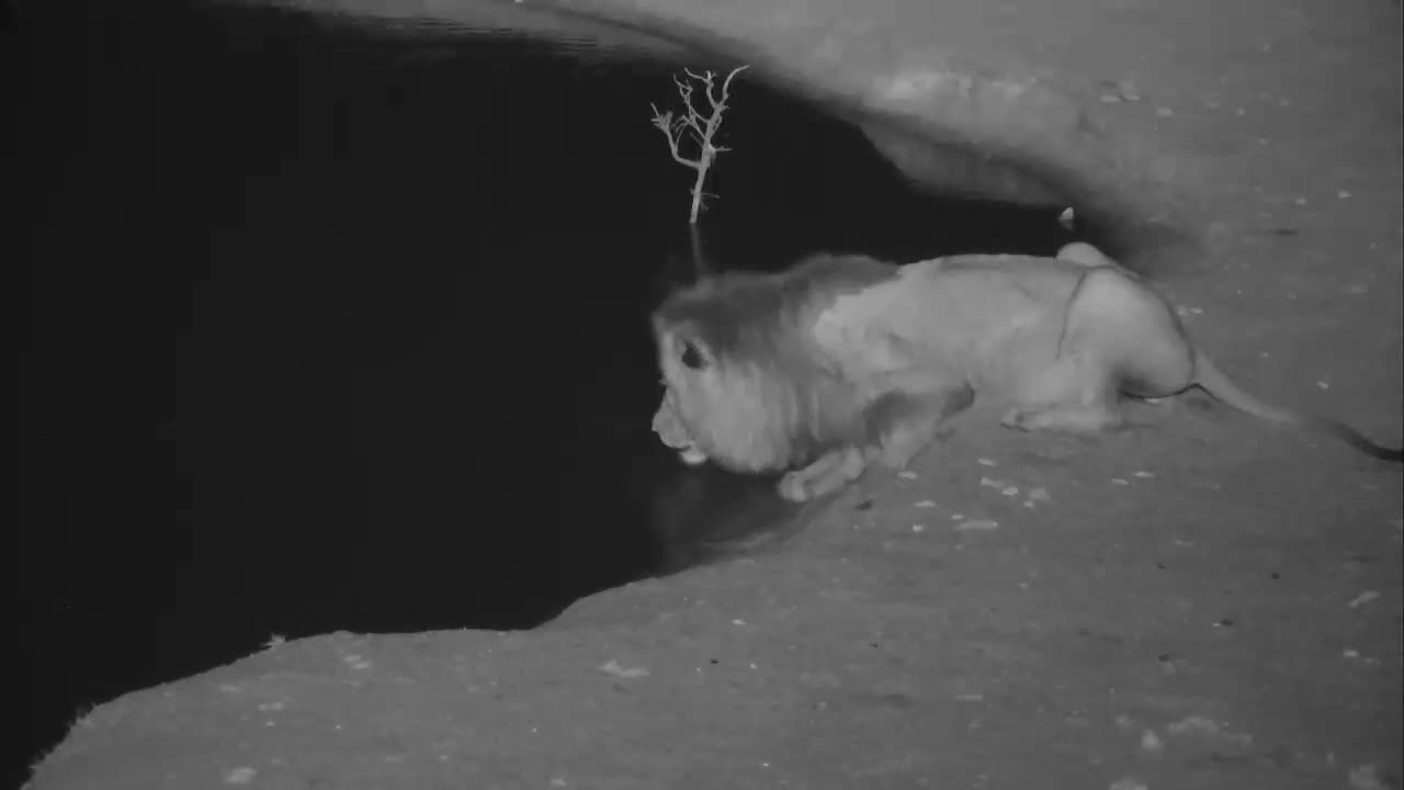 VIDEO: Male Lion comes for a drink of water