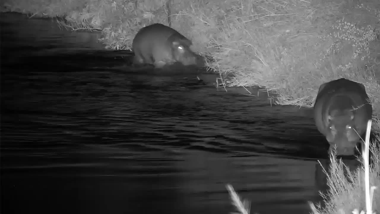 VIDEO: Hippos grazing as they move up the river