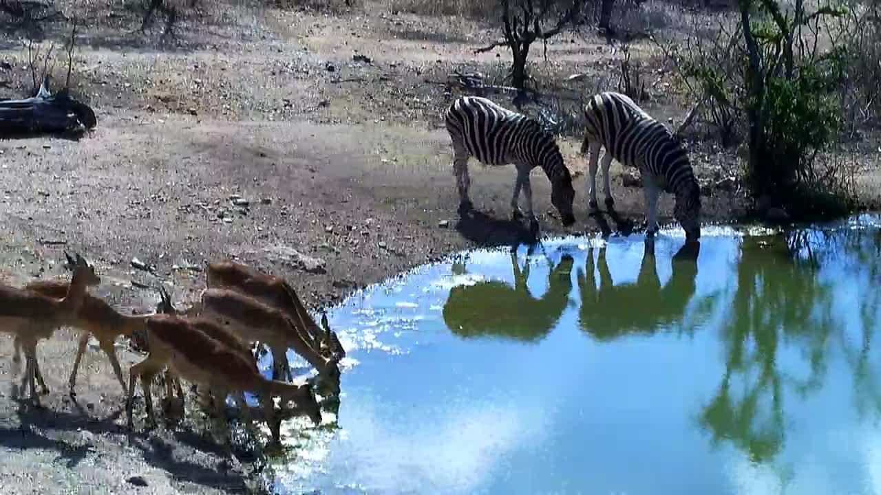 VIDEO: Impalas and Zebras drinking together at  the waterhole.