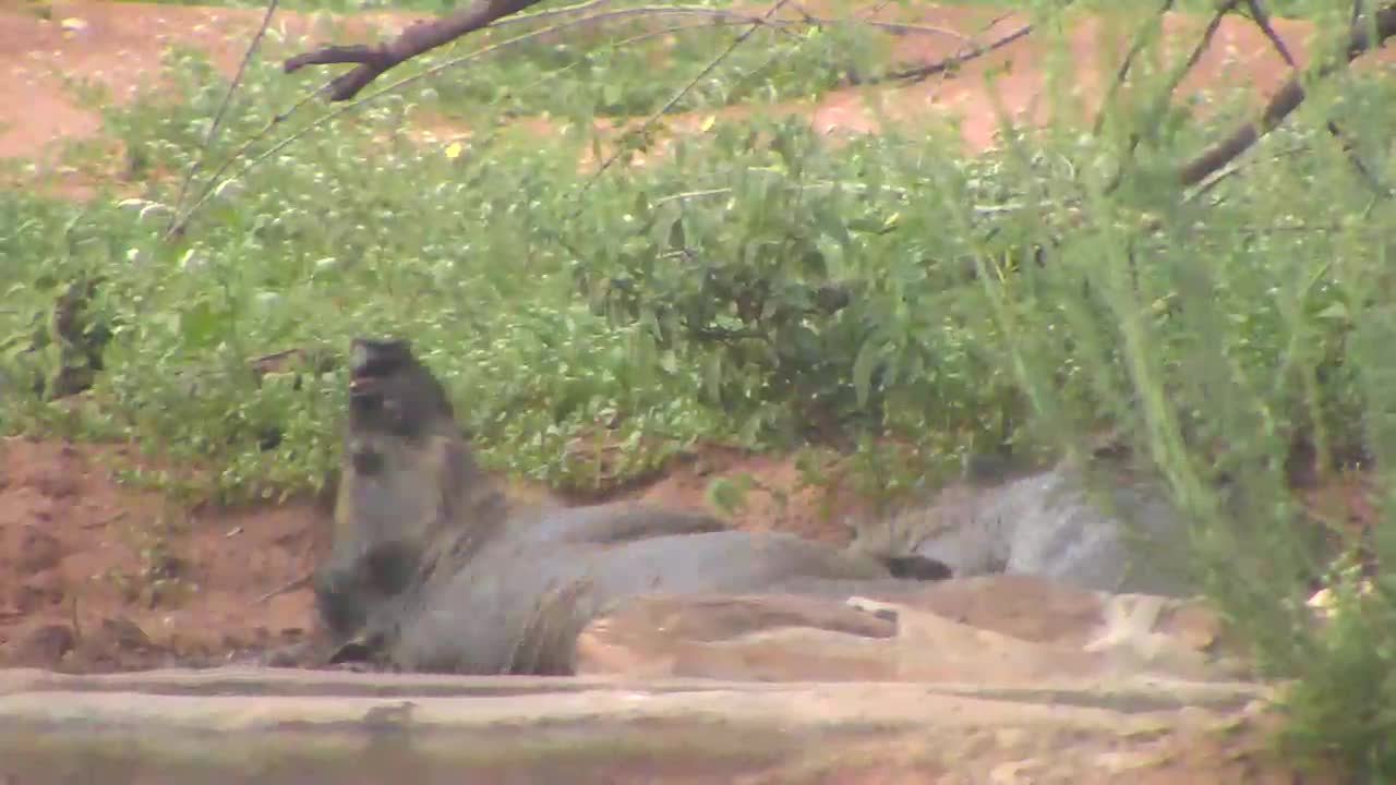 VIDEO: Warthogs wallowing in the mud